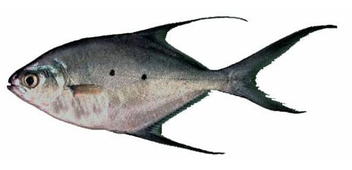 Рыбы Красного моря.  Обычно встречается вблизи рифов.  Рекордный экземпляр: длина 0,6 м; вес 1,5 кг.