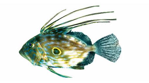 Солнечники, рыбы-солнечники (Zeiformes), отряд рыб, близких к...