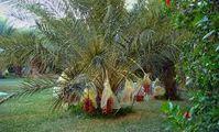 Ученые из РФ, Египта и Германии предложили простой способ определения пола финиковых пальм