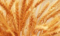 Египет закупил 120 тыс. т украинской и румынской пшеницы