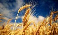 Пшеница ЕС: США в Египте помогли парижской бирже