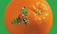 В порту Новороссийск запрещена к ввозу партия зараженныйх апельсинов из Египта