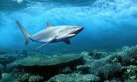 Акулы красного моря, дайвинг в сафаге