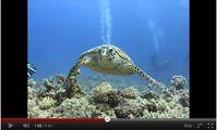 Черепаха, Красное Море