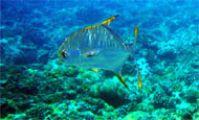 рыба-стрела, Красное море