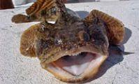 Рыба-жаба, Красное море