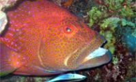 групер. красное море рыбы