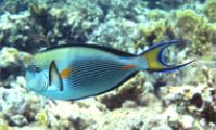 Рыба хирург. Опасные рыбы Красном море