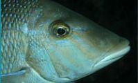 Рыба император, Красное море