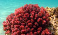 Кораллы красного моря