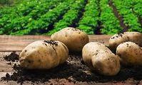 Россельхознадзор выразил готовность направить специалистов в Египет для проверки картофеля