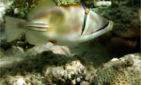 Carnatic. Рыба-клоун