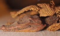 В древней египетской мумии крокодила найдены еще 47 крокодильчиков