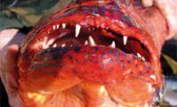 Лирохвост, Красное море