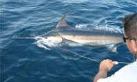 Египет - Каталог Рыбы Красного моря - Марлин.