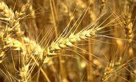 Пшеничный тендер в Египте. Пшеничный хлеб. Импорт пшеницы