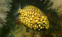 Японская ананасовая рыба в Красном море, рыба-ананас
