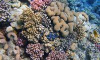возраст коралловых  рифов в Красном море