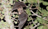 Египетские летучие мыши оказались мастерами коммуникации