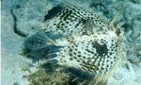 Морской петух. Рыба-шлем, Красное море