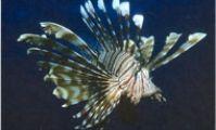 Рыба-лев обыкновенная