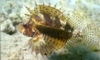 Карликовая рыба-лев. Короткоперая крылатка