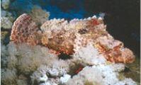 Малочешуйчатый скорпион.Рыба-скорпион, Красное море