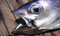 тунец Красное море