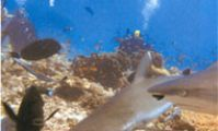 Шааб Руми, Судан. Кормление акул в Красном море