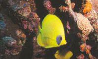 Рыба Бабочка, Красное море, Рас Мохаммед, Египет