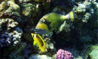 Опасные рыбы Красного моря. Синеперый балистоид