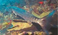 Барракуда, Хищники Красного моря