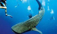 В Хургаде ищут дайвера, преследовавшего китовую акулу