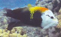 Большеротый губан. Рыбы Красного моря