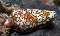 Улитка-конус. Ядовитые животные Красного моря