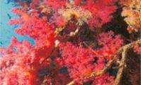 Пинки Уолл, шарм эль Шейх, Красное море, кораллы