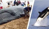 В Хургаде на берег выбросило тело пятиметровой косатки