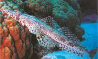 Рыба-крокодил. Рыбы в Красном море