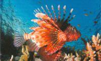 Крылатка, Красное море, дайвинг