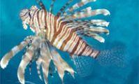 Крылатка. Ядовитые рыбы Красного моря