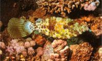 Малый Гифтун. Рыба-напильник