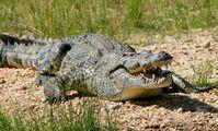 Египет может начать экспорт крокодилов в 2020 году