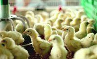 Российских цыплят отправят в Египет