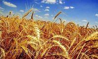 Египет: в госфонд закуплено более 1 млн. тонн пшеницы