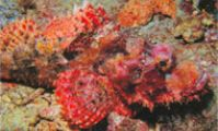 Рыба-камень, Красное море