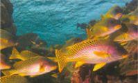 Сладкогубы. Рыбы Красного моря - Атлас электронный