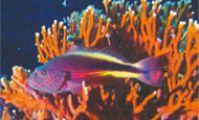 Рыба-сокол