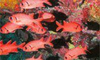 Рыба - Солдат, Красное море