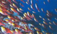 Фар-Гарден. Дайвинг. Свиперы, Рыбы Красного моря