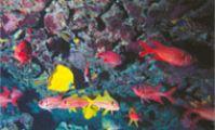 Тобья Арба. Описание рыб Красного моря - полный фото каталог